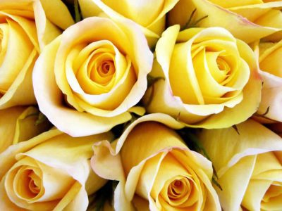 yellow roses2