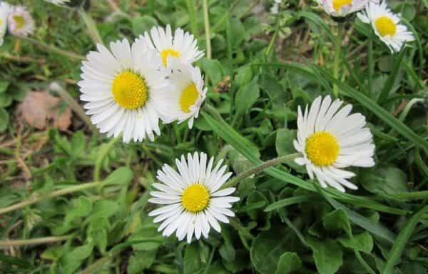Bellis (English Daisy)