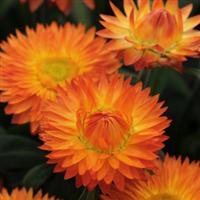 Bracteantha (Strawflower)