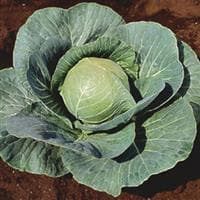 Cabbage, Stonehead