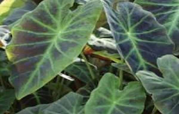 Colocasia, Elephant Ears