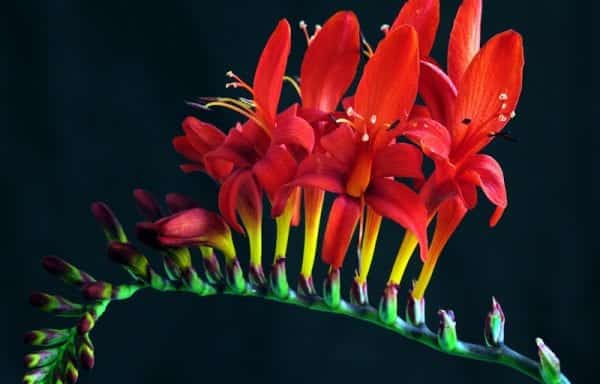 Crocosmia (Lucifer)