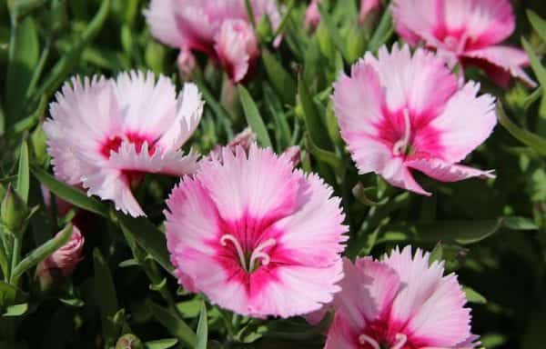 Dianthus (carnation/pinks)