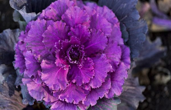 Cabbage and Kale Flowering