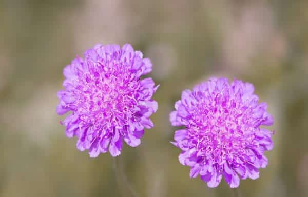 Scabiosa (pincushion flower)
