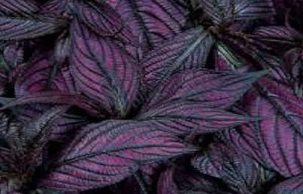 Strobilanthis, Persian Shield